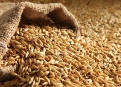 Carlsberg Group собрала 300 тысяч тонн ячменя в рамках агропроекта в России
